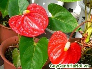 cây đại hồng môn