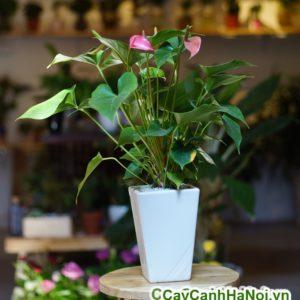 cây tiểu hồng môn để bàn